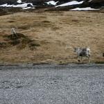 Ei simle med nyfødt kalv