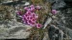 Ved varden på Lungatoppen fant æ disse vakre blomstene.