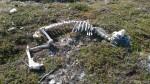 På tur ned fra Guohcavarre kom æ over disse restene av en rein.