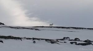 Årets første rein på Russefjellet
