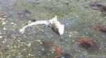 I fjæra lå denne torskeskrotten, nesten rensket.