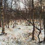 Mange krokete trær