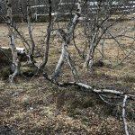 Et tre som har måttet bukke under for snømengden