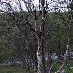 Trist å se så mange døde og det er mange trær som ser grønne ut, men bladene er angrepet