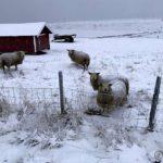Disse sauene ville tydeligvis ha mæ til å føre dem inn i fjøsen pga. snøværet