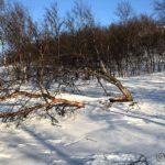 Hmm, et tre som måtte bøye sæ for sterk vind og snø