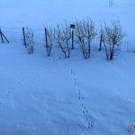 Tidlig i morres, ser ut til at Mikkel har sjekka fuglehuset og/eller sett etter mus under snøen 😂😂