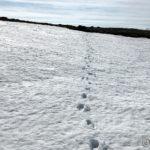 Snøen begynner å miste bæreevnen, så om ikke lenge trør man vel helt gjennom