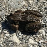 Kom over denne frosken mitt på veien, var veldig daff og måtte hjelpe den til terreng med vann