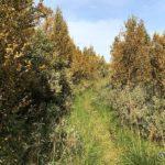 Tok å ryddet litt i de tette buskene langs stien på Tirsdag, litt letter å gå her nå