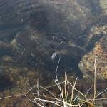 Et eller annet vanndyr spaserte på vannflaten