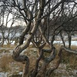 Veldig krokete trær, rett ved Kokelva øverst i dalen