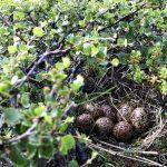 Holt nesten på å trø på disse 7 eggene, høna har akkurat lettet og skremte livskiten ut av mæ